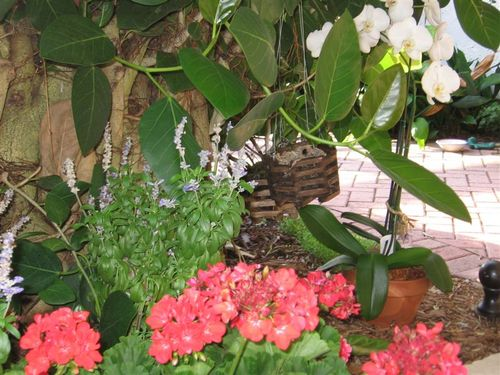 Banyan Tree, Orchids, and Geraniums