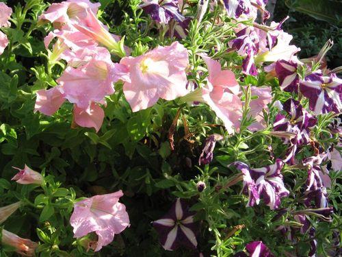 Petunias Closeup