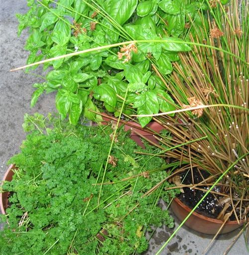 Basil, Parsely, and Lemon Grass