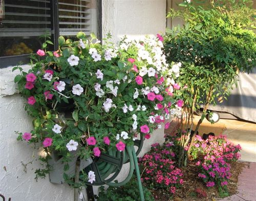 Petunias in Kitchen Windows